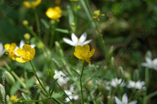 Fotografía  rosaceae - potentilla recta l