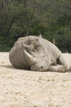 Rhinocero