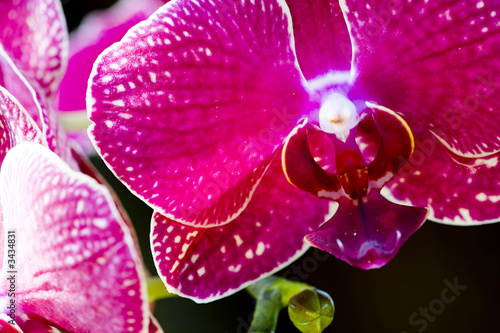 Fototapeta orchidea   storczyki