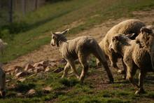 Shaved Sheep
