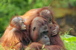 canvas print picture mother orangutan with her babies