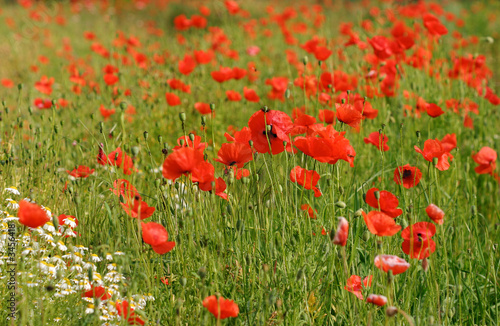 Fototapety, obrazy: red corn poppy and white meadow flowers