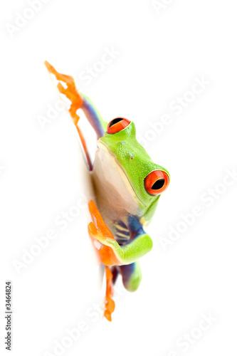 Tuinposter Kikker frog on white