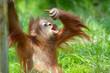 canvas print picture - cute baby orangutan