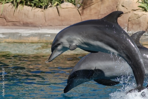 Photo  two leaping gray dolphins