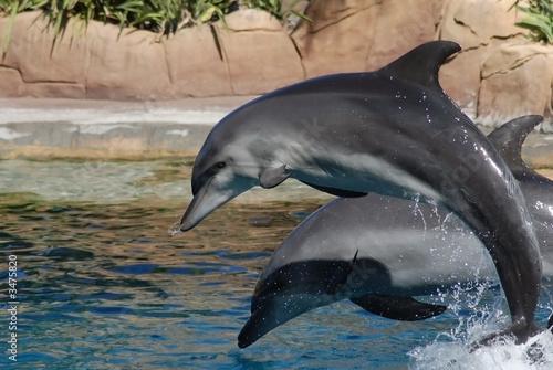 Fotografie, Obraz  Dva skákající delfíni šedá