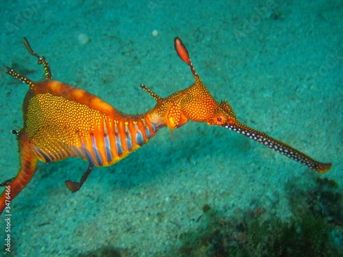 Photo Stands Coral reefs Weedy Sea Dragon