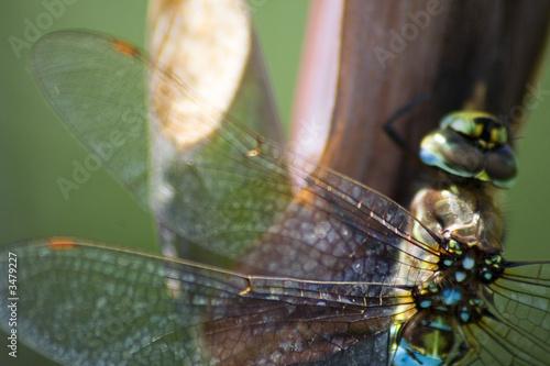 Fototapeta close-up of delicate dragonfly obraz na płótnie