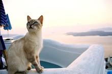 Cat On Santorini Island