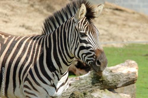 In de dag Bleke violet zebra.
