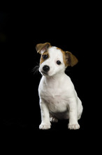 Jack Russell Puppy Sitting