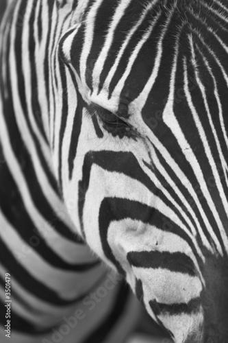 In de dag Zebra zebra portrait