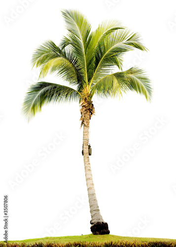 Foto op Canvas Palm boom palm tree isolated