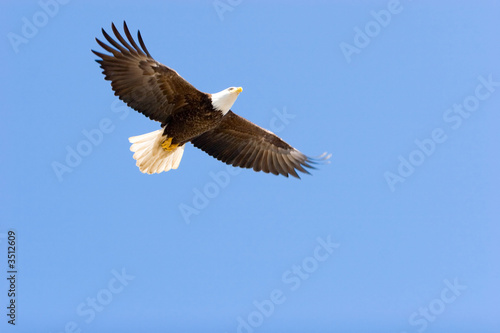 Bald eagle flying Canvas Print