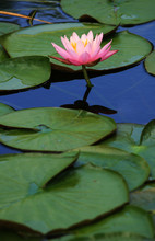 Lily Pads With Pink Lotus Flower