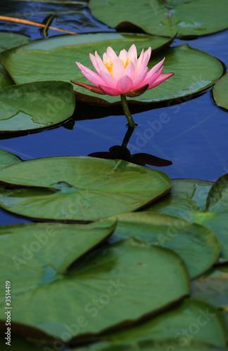 Valokuvatapetti lily pads with pink lotus flower