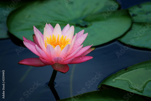 Deurstickers Lotusbloem lily pads and lotus flower