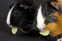 Pair Of Guinea Pigs Eating Cucumber