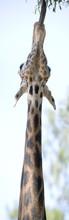 Vertical Panorama Of A Ugandan Giraffe