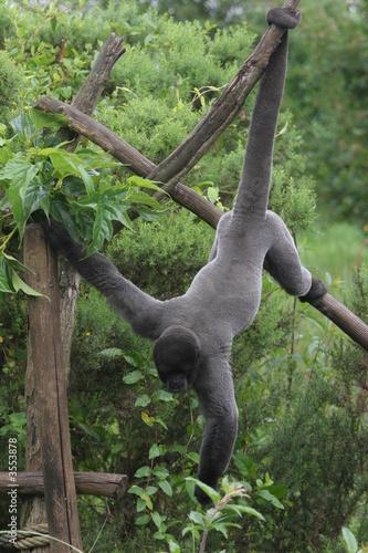 Foto op Aluminium Aap singe laineux