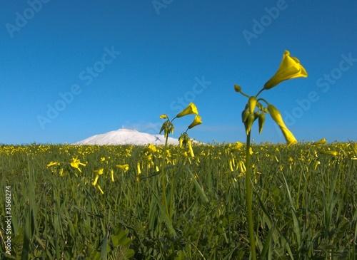 Fotografering prato fiorito con  fiore giallo e Etna innevata bianca