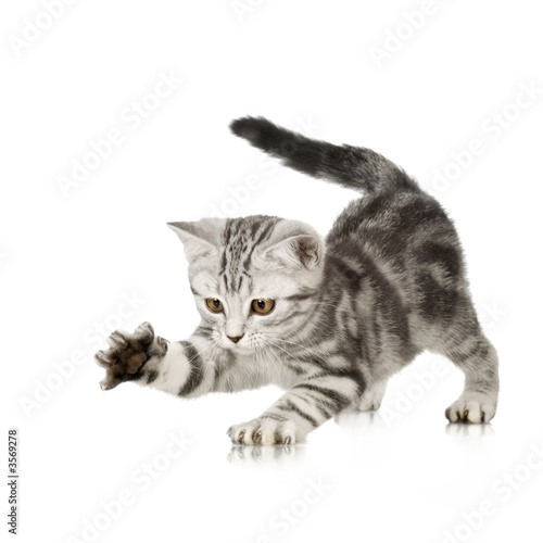 Foto op Canvas Kat British Shorthair kitten in front of a white background