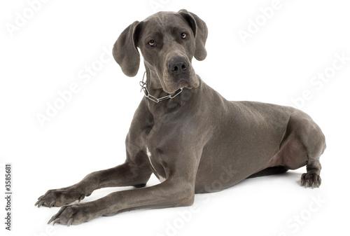 Fototapeta Grey Great Dane lying down in front of white background obraz