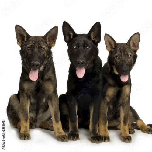 Fototapeta wolfpack of four juvenile german shepherd
