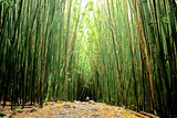 Fototapeta Bambus - Bamboo Pathway