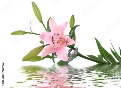 Fényképezés  lily reflected in water