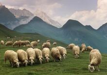 Sheep Pyrenees