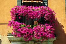 Geranium On A Balcony