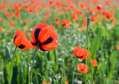 Fototapety, obrazy: Red poppies meeting morning sun