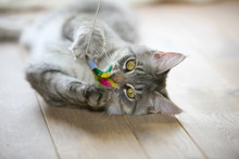 Cute Gray Kitten Lying On A Wooden Floor Playing With It's Toy