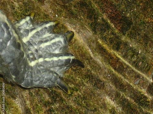 Fotografie, Obraz  Patte de tortue