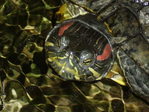 Fotografie, Obraz  Tête de tortue