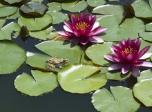 Lily And A Frog In Wood Deep L...