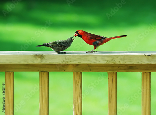 Photo  Cardinal Feeding a Wren