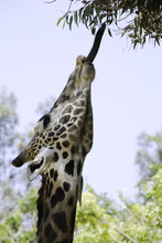 Ugandan Giraffe Stretches Tongue