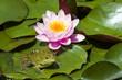 Leinwandbild Motiv Lily and a frog sitting on leaves