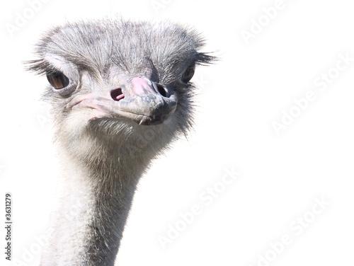Tuinposter Struisvogel Autruche (retouche)