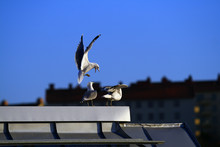 Seagull Fighting For Place On The Roof