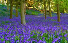 Bluebell Woods At Springtime