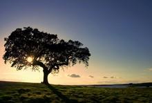 Oak Tree By A Lake In A Very D...