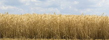 Harvest Of Wheat