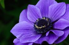 Anémone Violette
