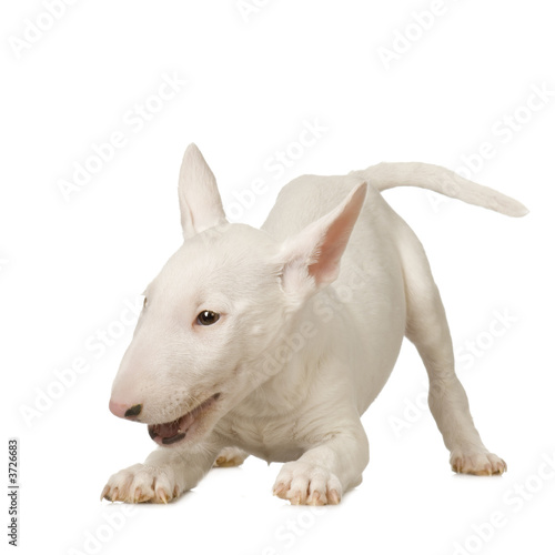 Photo  Bull Terrier in front of a white background