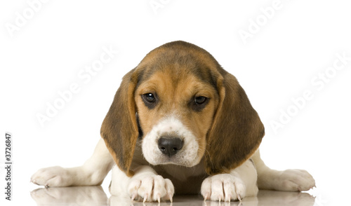 Stampa su Tela Beagle in front of white background