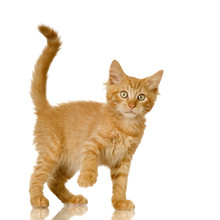 Ginger Cat Kitten In Front Of A White Background