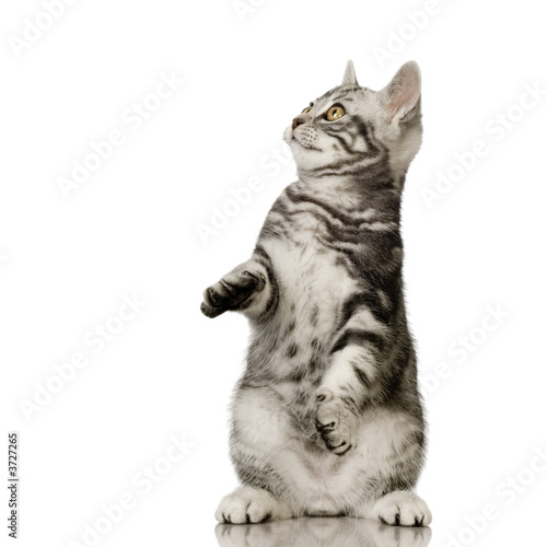 British Shorthair in front of a white background Wallpaper Mural